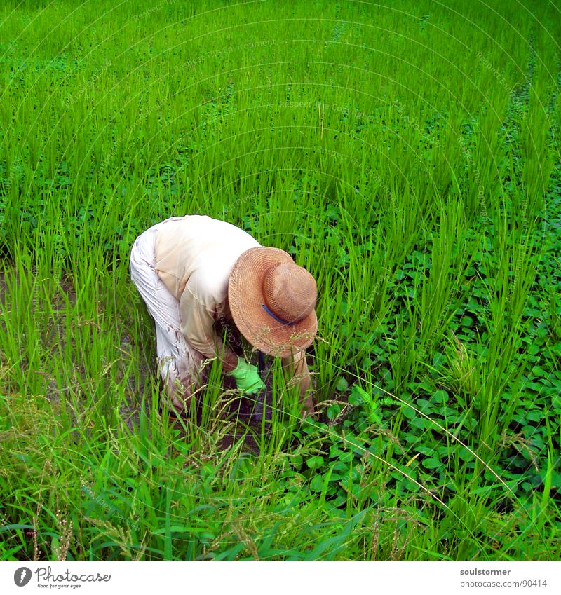 Man Water White Green Plant Summer Vacation & Travel Nutrition Work and employment Grass Field Dirty Food Asia Hat Farmer