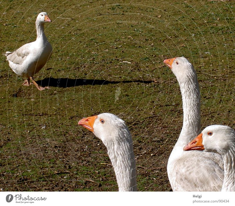 free-range geese on a farm Colour photo Subdued colour Exterior shot Detail Deserted Copy Space top Day Shadow Animal portrait Upper body Full-length Profile