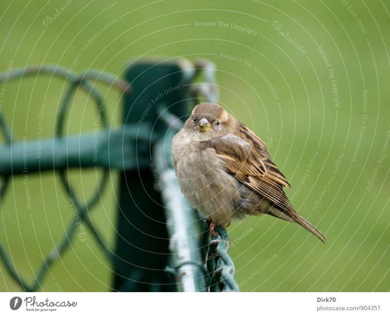 Sparrow of Paris Winter Grass Park Champs de Mars Animal Wild animal Bird Passerine bird 1 Baby animal Fence Wire fence Wire netting fence Freeze Crouch Looking
