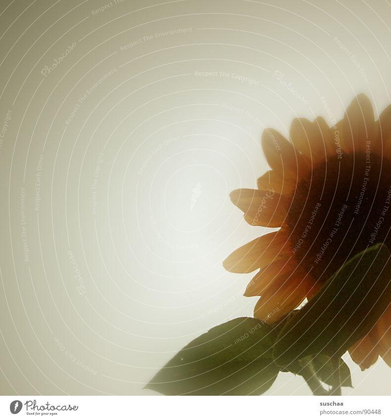 summer flower ... Sunflower Summer Bland Transparent Blossom leave Sky Sadness
