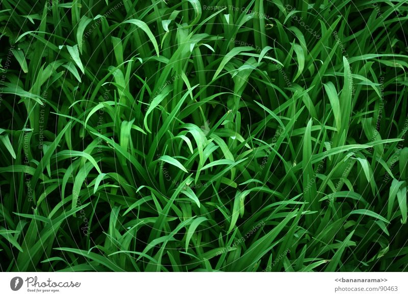 Nature Green Plant Meadow Grass Garden Park Lawn Common Reed Blade of grass