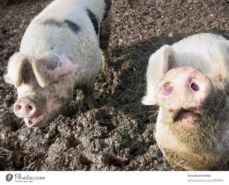 Animal Happy Dirty Pair of animals In pairs Curiosity Farm Mammal Pride Swine Snout Cattle breeding Sow Vision Good luck charm Swinishness