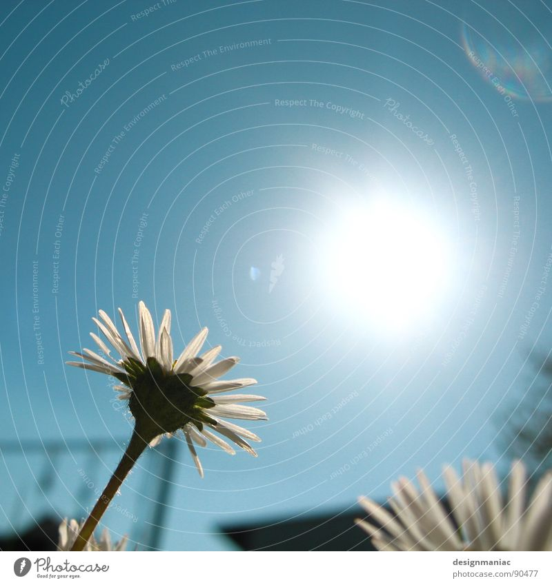 Let the sun in. Flower Daisy Blossoming Summer Physics Spring Swing Rod Flashy Lighting Hot Dazzle Growth Aspire Extraterrestrial Light blue White