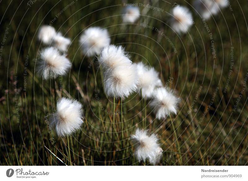 Puschels Life Senses Calm Nature Landscape Plant Summer Grass Wild plant Bog Marsh Friendliness Fresh Natural Green White Warm-heartedness Moody Cotton grass
