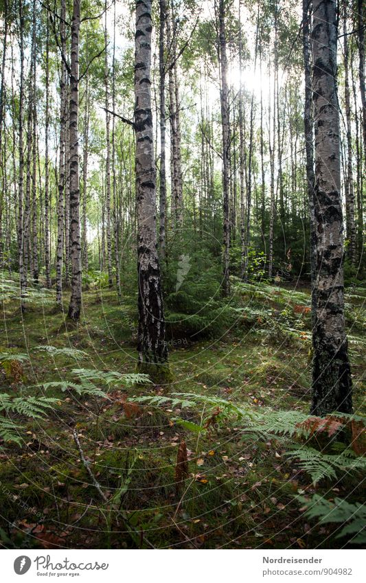 Nature Plant Summer Sun Tree Relaxation Landscape Forest Glittering Beautiful weather Agriculture Forestry Scandinavia Sweden Fern Woodground