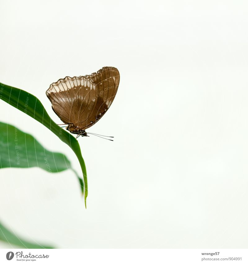quiet zone Leaf Foliage plant Animal Butterfly Insect 1 Beautiful Brown Green Exotic Delicate Colour photo Subdued colour Interior shot Close-up Deserted