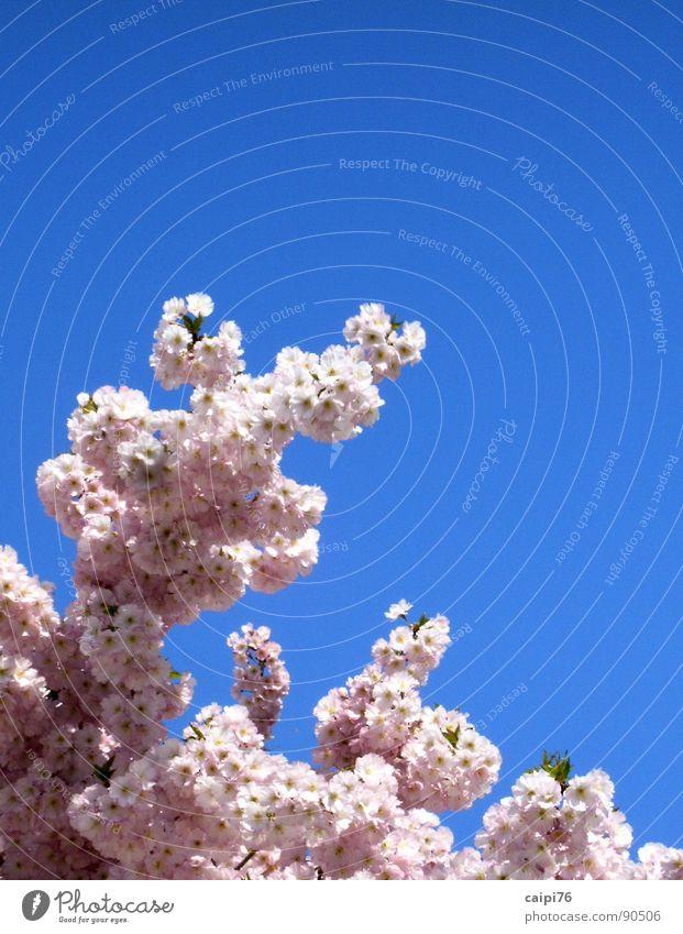 Nature Sky Tree Blue Blossom Spring Garden Park Pink