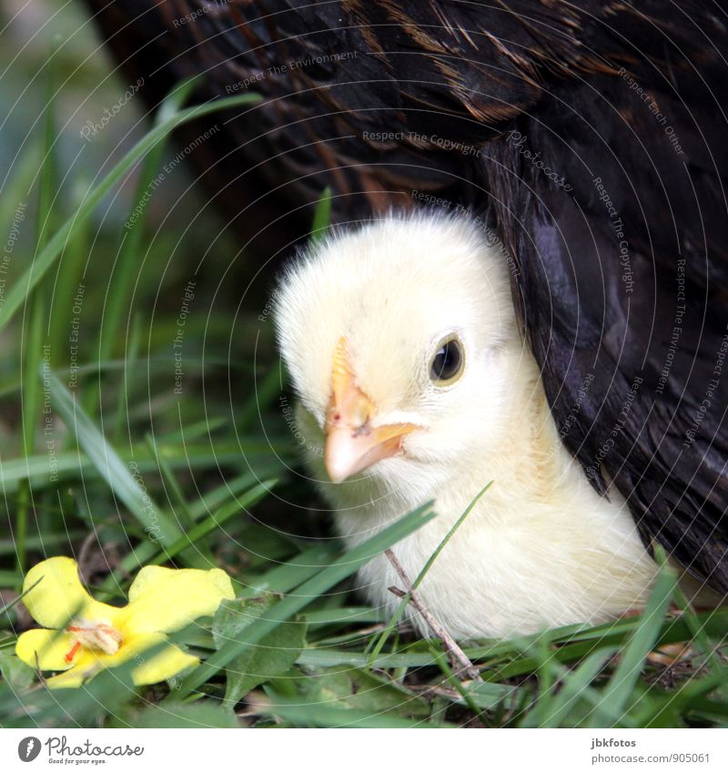 security Nature Animal Pet Farm animal Chick Barn fowl 1 Baby animal Blonde Beautiful Safety (feeling of) Protect Mother hen Feather Egg Exceptional Cute