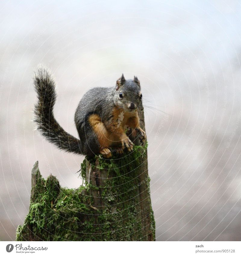 Nuts? What nuts? Plant Tree Moss Tree stump Tree trunk Animal Wild animal Animal face Pelt Claw Paw Tails Rodent Squirrel 1 To feed Feeding Sit Cuddly Cute