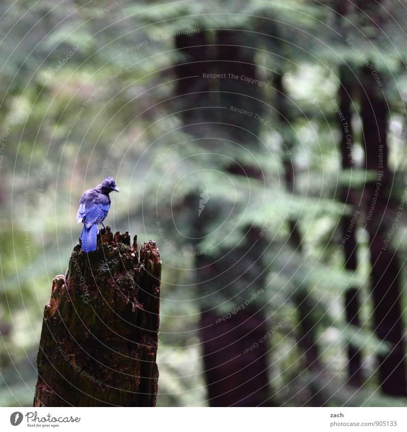 Funny bird Landscape Summer Autumn Plant Tree Coniferous trees Coniferous forest Forest Canada North America Animal Wild animal Bird Wing Steller's Jay Blue Jay