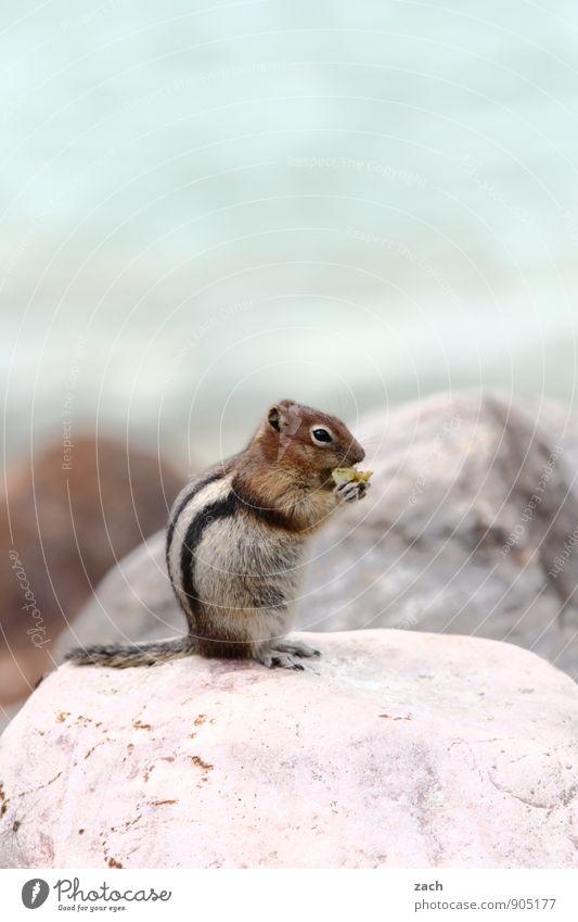 breakfast Far-off places Animal Wild animal Animal face Pelt Claw Paw Tails Eastern American Chipmunk Squirrel Stone Eating To feed Feeding Cute Blue Brown