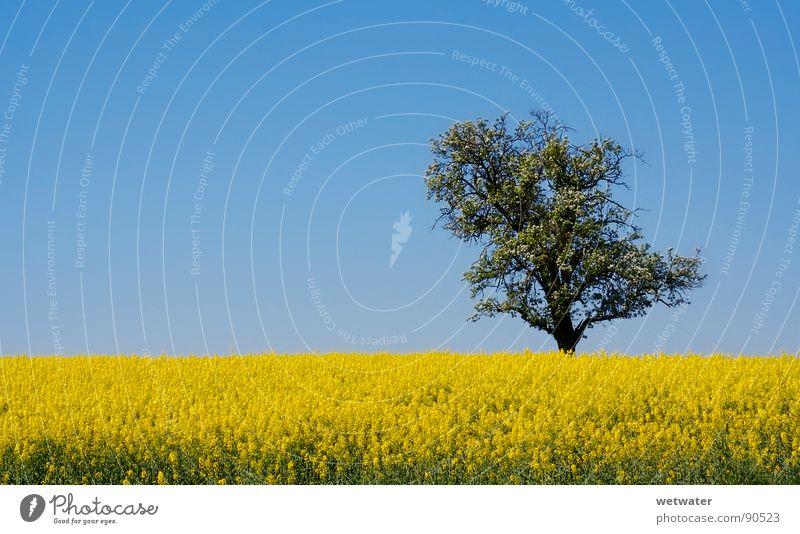 Nature Sky Tree Yellow Meadow Jump Spring Field Canola Baden-Wuerttemberg Kraichgau