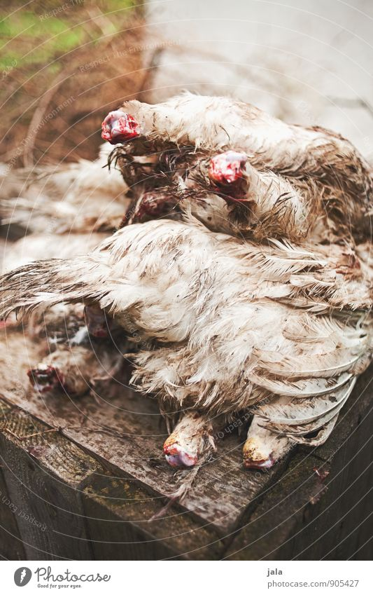 Animal Natural Feather Nutrition Organic produce Meat Farm animal Headless Poultry Gamefowl Dead animal Killing