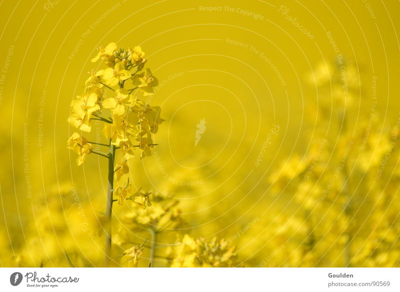 Nature Plant Yellow Spring Field Environment Energy industry Oil Ecological Canola Renewable