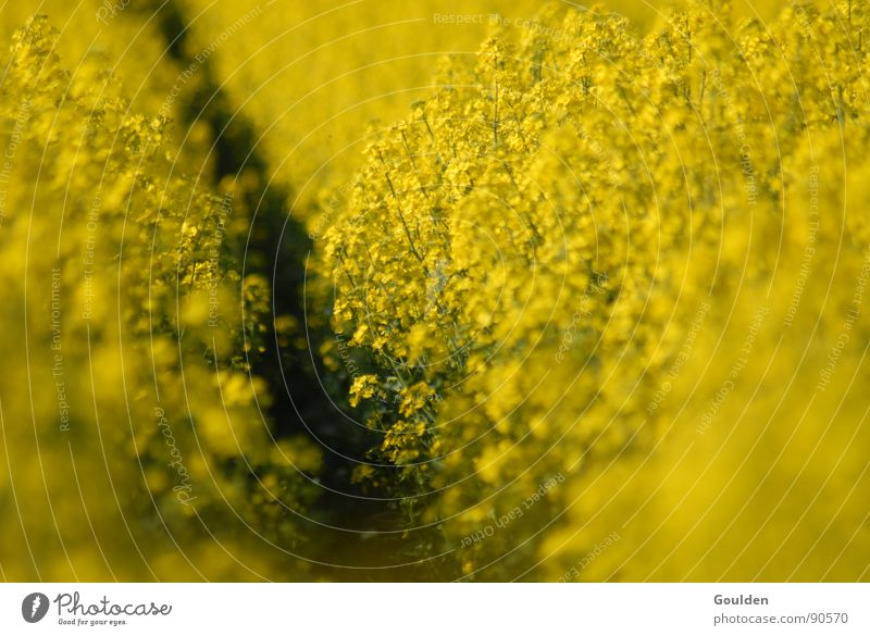 Nature Plant Yellow Spring Field Environment Energy industry Oil Ecological Furrow Canola Renewable