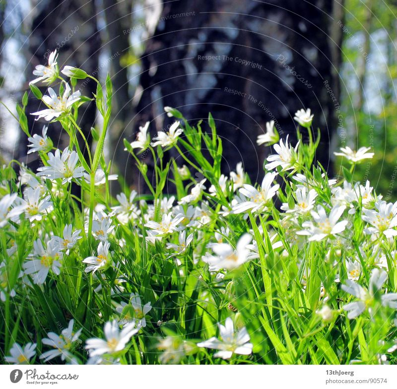boredom in the woods Forest Meadow Flower Birch tree Germany Spring Environment Blossom White Spring flowering plant Edge of the forest Nature Floor covering