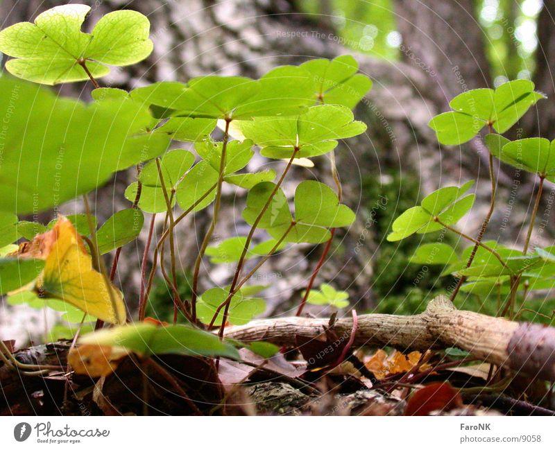 clover Clover Plant Green Forest