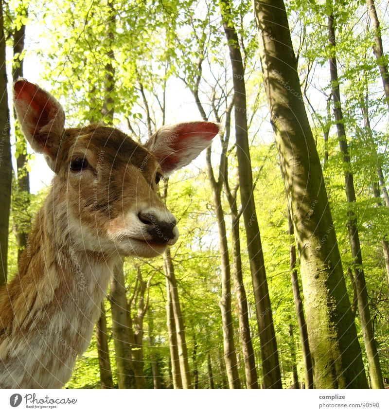 sweet bambi Sweet Forest Tree Animal Roe deer Deer Wild animal Game park Listening Fear Feed Caution Pelt Hunter Green Brown Black Forest Mammal Delicate ooohh