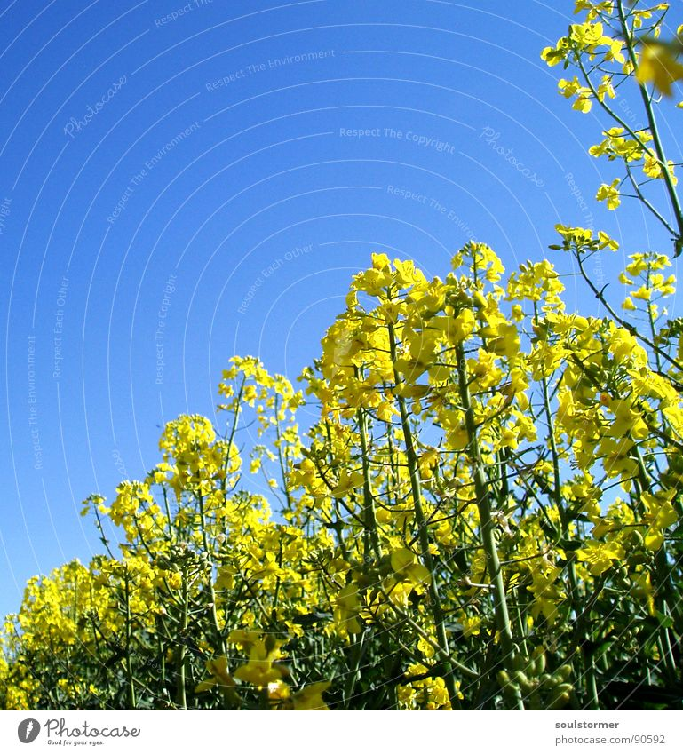 La colza I Canola Plant Yellow Green Spring Field Canola field Agriculture Honey Bee Blossom Flower Ecological Worm's-eye view Under Knee Oil Blue Americas Sky