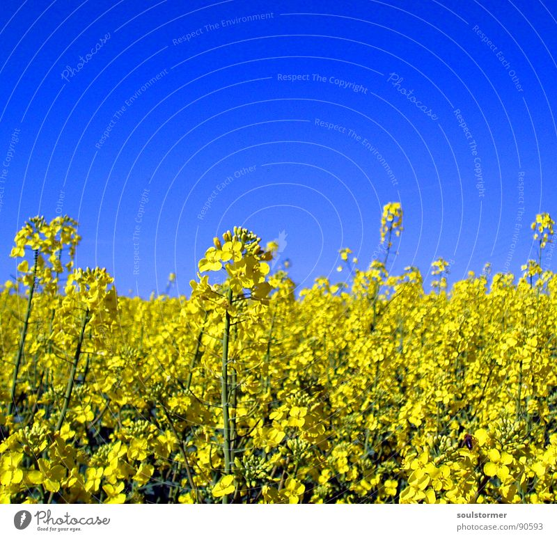 La colza II Canola Plant Yellow Green Spring Field Canola field Agriculture Honey Bee Blossom Flower Ecological Depth of field Middle Oil Blue Americas Sky