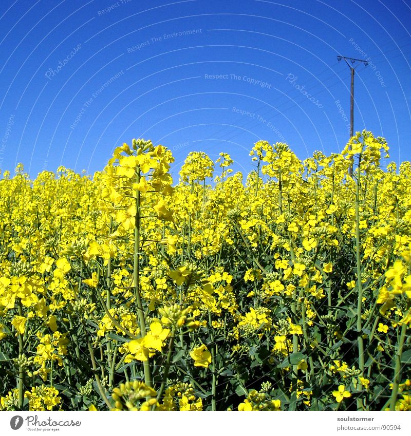 La colza III Canola Plant Yellow Green Spring Field Canola field Agriculture Honey Bee Blossom Flower Ecological Electricity pylon Square Oil Blue Americas Sky