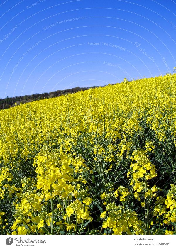 La colza IV Canola Plant Yellow Green Spring Field Canola field Agriculture Honey Bee Blossom Flower Ecological Forest Oil Blue Americas Sky Beautiful weather