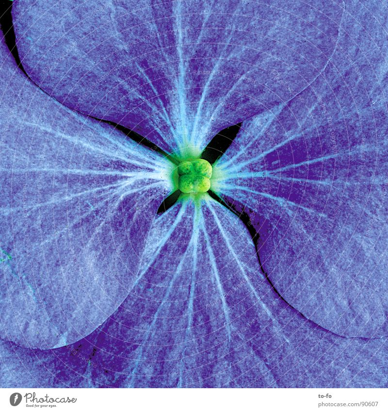 blue Spring Blossom Flower Blossom leave Macro (Extreme close-up) Close-up Blue in full bloom Enlarged Pollen Detail Magnifying glass