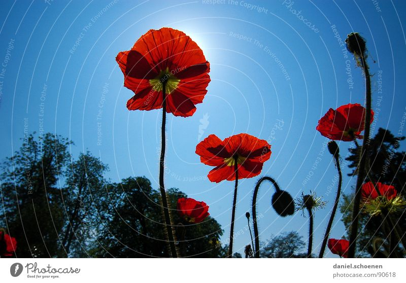 poppy seed Poppy Corn poppy Red Summer Spring Flower Blossom Light blue Cyan Silhouette Sun Sky Perspective Blue Beautiful weather Bud Nature Illuminate