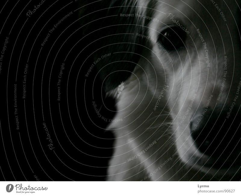 White Calm Black Eyes Animal Dog Friendship Nose Pelt Pet Snout Pensive Lop ears