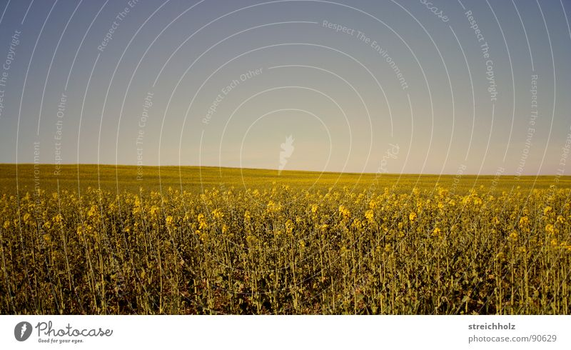 Sky White Yellow Meadow Freedom Happy Field Gold Perspective Hope Agriculture Farm Paradise Cornfield Seed Canola