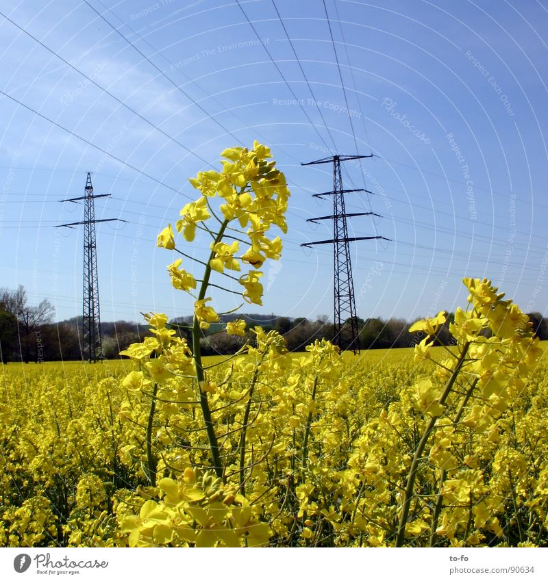 biodiesel Canola Plant Yellow Green Spring Field Canola field Bio-diesel Ecological Renewable raw materials Agriculture Honey Bee Blossom Oil Americas