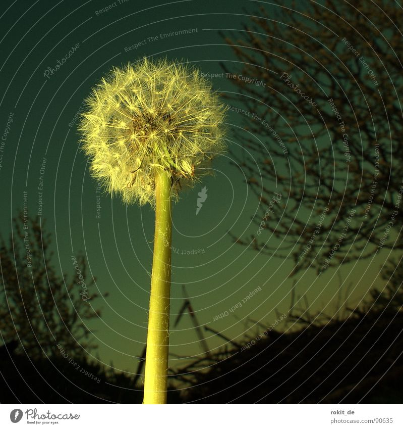 Come on, blow! Dandelion Back-light Night Meadow Evening sun Steep Bushes Grass Field Transience Blow Skydiver Parachute Horizon Spring Bright