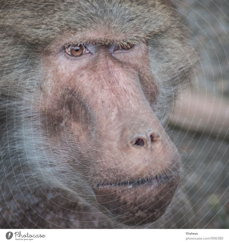 hmmm, let me think Animal face Zoo Observe Threat Brown Monkeys Apes Baboon Gaze Animal portrait Looking into the camera