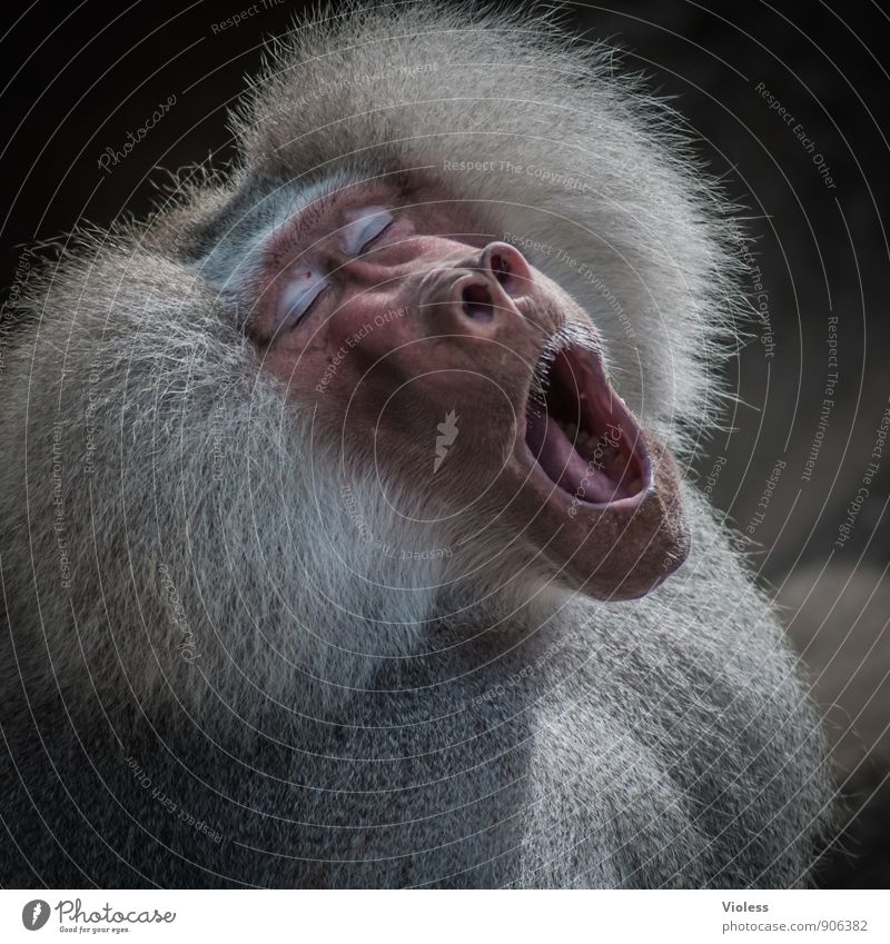 tired ... Wild animal Animal face Zoo Cool (slang) Baboon Monkeys Fatigue Animal portrait