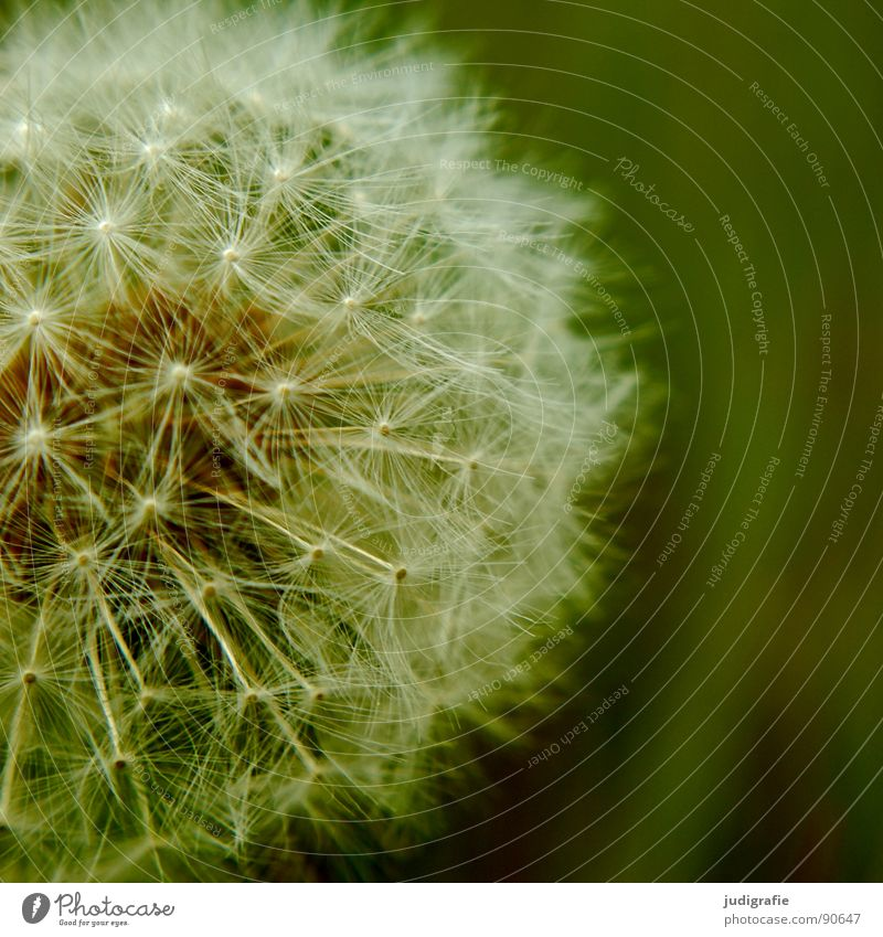 White Flower Green Summer Meadow Round Soft Umbrella Delicate Dandelion Easy Seed Fine Daisy Family