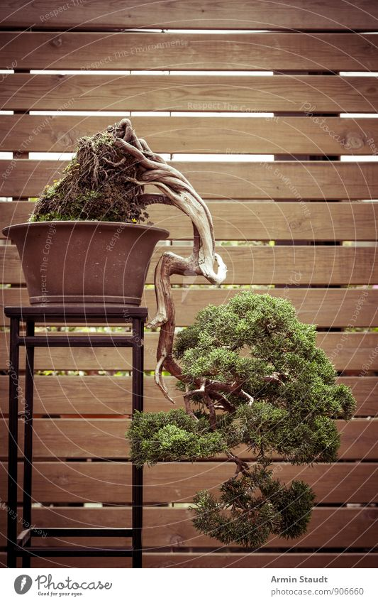 BONSAI! Animal Summer Plant Tree Bonsar Pine Wooden fence Wooden wall Old Stand Growth Esthetic Authentic Exceptional Beautiful Brown Green Moody Power Truth