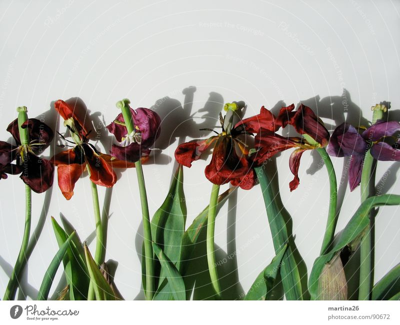 Death suits them well Flower Tulip Blossom Blossom leave Stalk Shadow Red Decline Multicoloured Plant Grief Past Bland Blues Spring Transience Dried Morbid Row