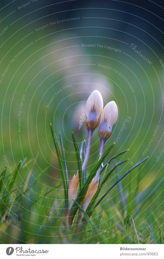 Nature Flower Green Blue Meadow Jump Blossom Spring Lawn Violet Crocus