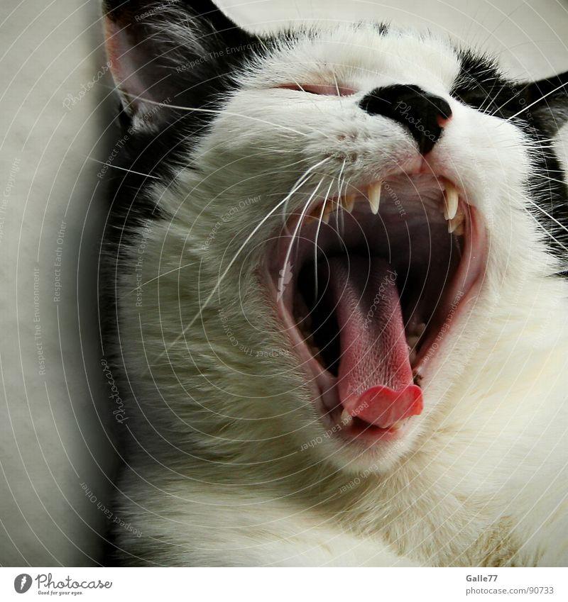 Cat Sleep Dangerous Set of teeth Fatigue Snapshot Mammal Tongue Domestic cat Siesta Yawn Animal