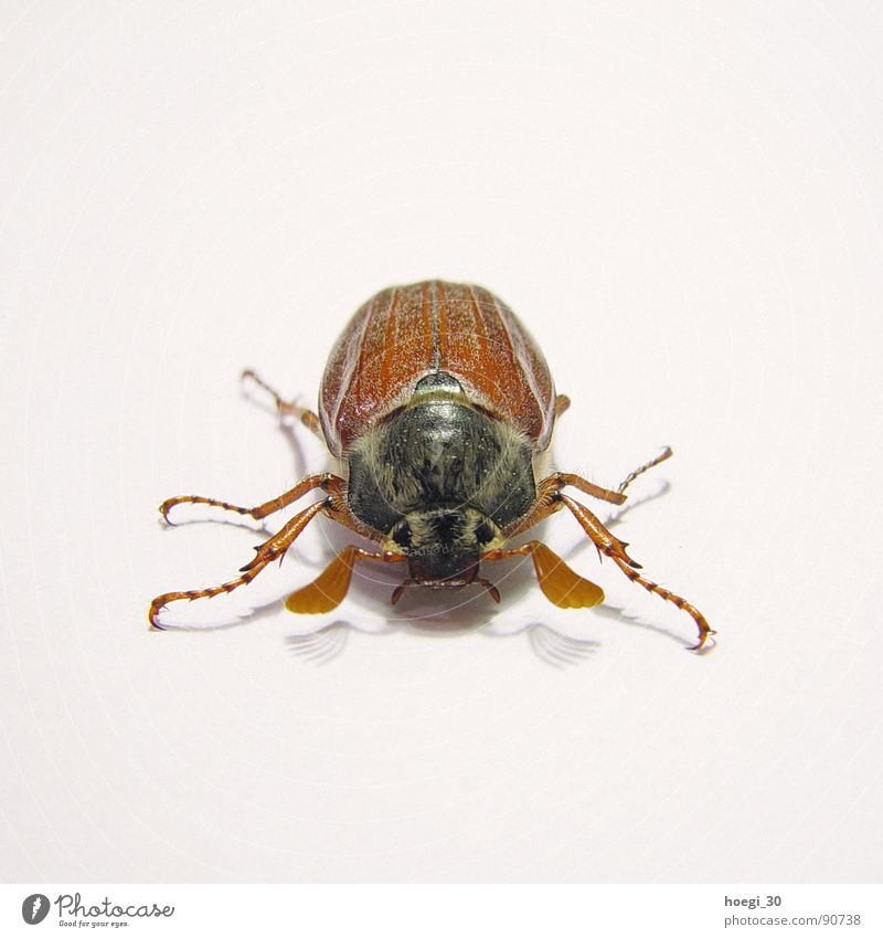 Aggressive May bug Insect Tiny hair White Brown Frontal Animal Middle Square Attack Beetle Front side