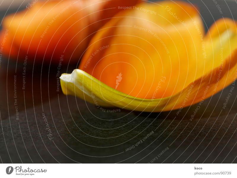 Flower Orange Heart Transience Delicate Tulip Blossom leave