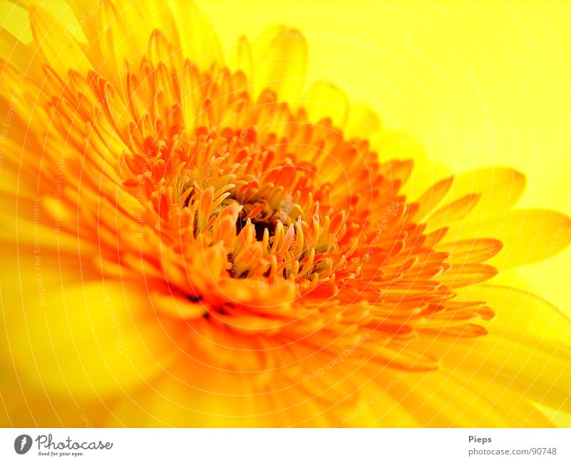 yellow gerbera Colour photo Interior shot Macro (Extreme close-up) Neutral Background Summer Nature Plant Flower Blossom Blossoming Yellow Transience Gerbera