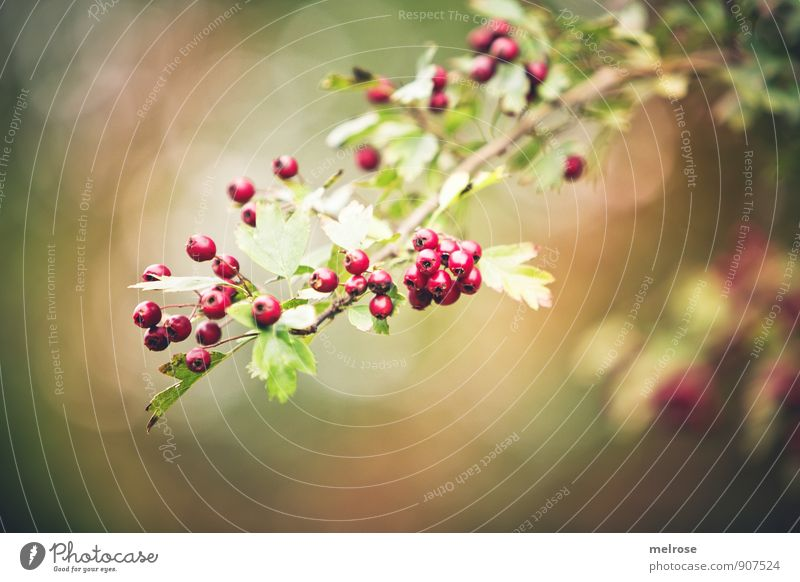 Forest fruits in autumn Nature Autumn Plant Tree Bushes Leaf Blossom Wild plant red berries forest fruits bokeh Blossoming To enjoy Illuminate Brown Gold Green