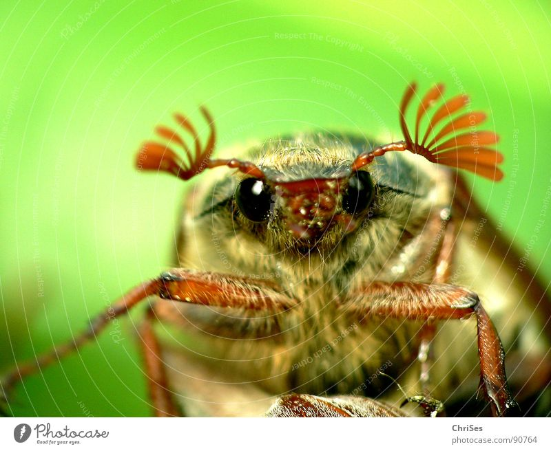 Green Summer Eyes Hair and hairstyles Spring Legs Brown Flying Beginning Wing Insect Beetle Feeler May Depart April