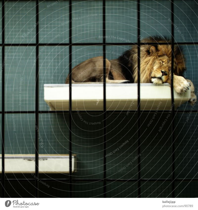 pixel-king Lion Zoo Animal Sleep Cage Grating Grief Captured Paw Environmental protection Living thing Shows To feed Land-based carnivore Big cat Masculine Pelt