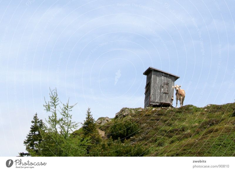 Here I rule! SECOND Arrogant Mountain dweller Austrian Cow Summer Worm's-eye view House (Residential Structure) Alpine Meadow Hut Sky Pride Alps Nature Blue