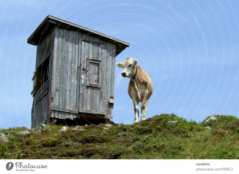 Here I rule! III Arrogant Mountain dweller Austrian Cow Summer Worm's-eye view House (Residential Structure) Alpine Meadow Hut Sky Pride Alps Nature Blue