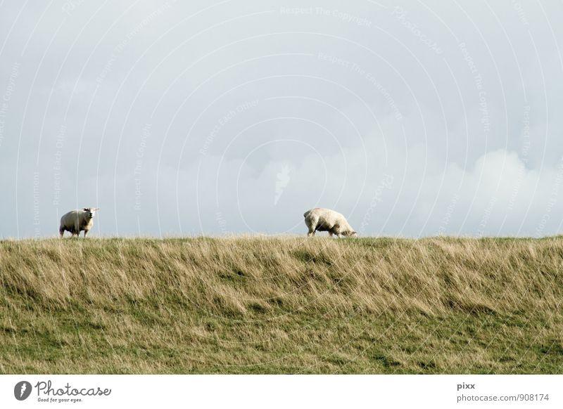north frisia Calm Vacation & Travel Trip Freedom Landscape Plant Animal Sky Clouds Grass Meadow Coast North Sea Village Farm animal Sheep 2 Stand Wait Gray