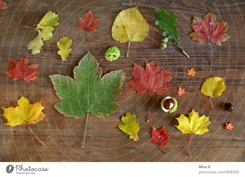 collection Leisure and hobbies Playing Decoration Nature Autumn Leaf Toys Wood Multicoloured Craft materials Autumn leaves Collection Accumulation Chestnut