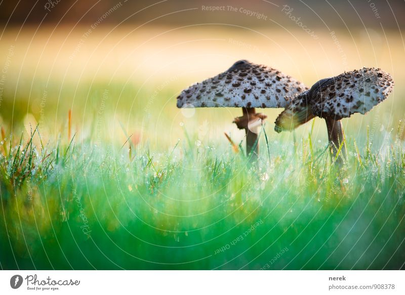 Mushrooms in the morning dew Nature Drops of water Sunlight Autumn Beautiful weather Plant Grass Meadow Populated Esthetic Disgust Elegant Healthy Gigantic Wet